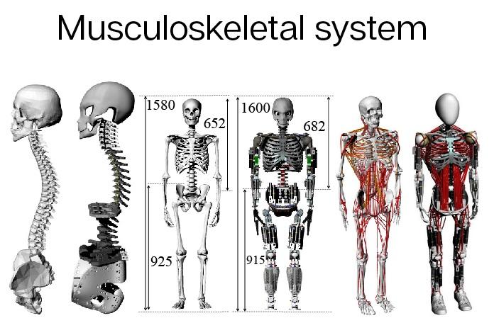 робот имитирует человеческое тело - скелет