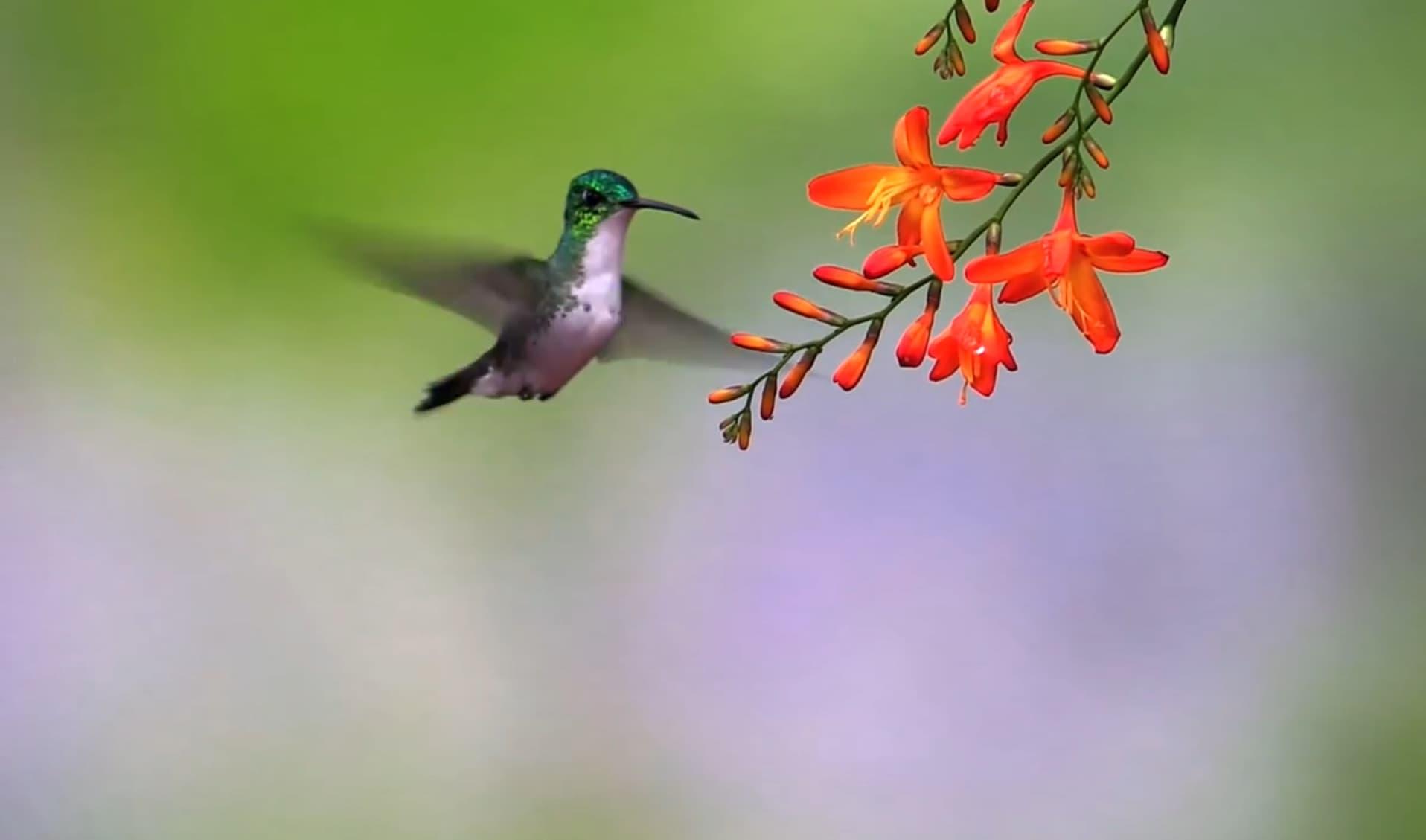 Колибри: интересные факты